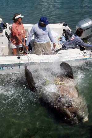 Sunfish rescue at Garrison Bight in Key West, Florida